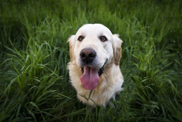 Los retriever, los perros más obedientes y familiares