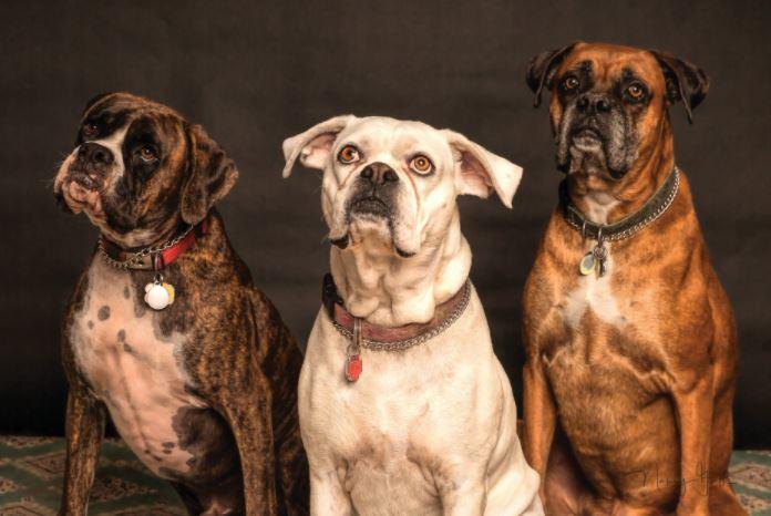 4 consejos para elegir seguros para perros peligrosos